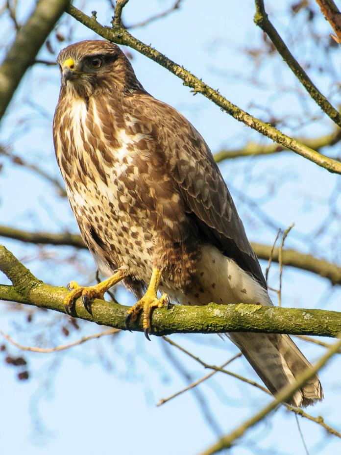 WHAT HAS HAPPENED TO OUR BUZZARDS.docx